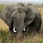 Tanzanya'da Safari
